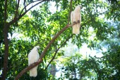 White cockatoos sitting on a tree brunch — Stock Photo