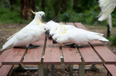 Wild cockatoos eatng seeds on picnic table — Stock Photo