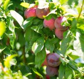 Plums on a tree closeup — Stock Photo