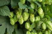 Groene hop — Stockfoto