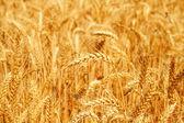 Campo de trigo de oro — Foto de Stock