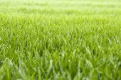 Thick grass with water drops — Stockfoto