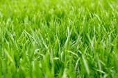 Thick grass with water drops — Stock Photo