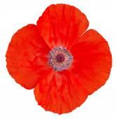 Red poppy flower. — Stock Photo