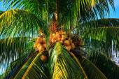 Coconut tree with nuts — Stock Photo