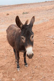 Brown donkey — Stock Photo