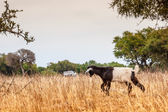 Morrocan goats in the field — Stock Photo