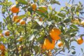 Orange trees - Citrus sinensis — Stock Photo