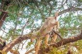 フィールド内のモロッコのヤギ — ストック写真