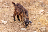 Morrocan goats in the field — Foto de Stock