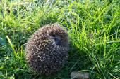 Little hedgehog — Foto de Stock