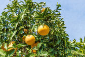 Orange Tree with the ripe oranges — Stock fotografie