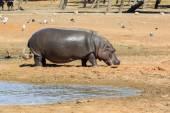 Hippopotamus walking out from lake — Stock Photo
