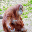 Orangutang holding out his hand — Stock Photo #81255264