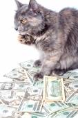 Fluffy cat with yellow eyes over dollars.  Striped not purebred kitten. Small predator. Small cat. — Foto Stock