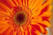 Makro fotoğraf og turuncu herbera çiçek — Stok fotoğraf