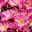 Gerbera flowers bunch. Pink flowers wallpaper — Stock Photo #67179943