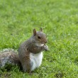 Squirrel standing and eating a nut. Grey squirrel in the meadow — Stock Photo #69662385
