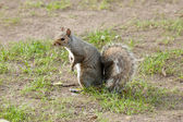 Grey squirrel in the meadow with a bushy tail up — Stock Photo