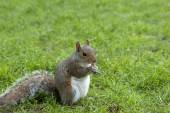 Squirrel standing and eating a nut. Grey squirrel in the meadow — 图库照片