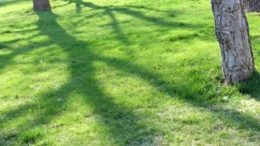 Low setting sun in green park casting long shadows on grass — Stock Video