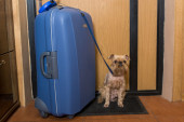 Small dog and a large suitcase — Stockfoto