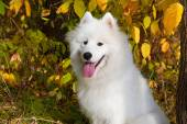 Dog breed Samoyed  — Stock Photo