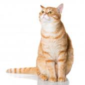 Beautiful orange cat — Stockfoto