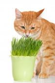 Red cat eats green grass — Fotografia Stock