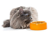 Persian cat sitting near the bowl of dry food — Stock Photo