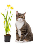 Grey domestic cat and daffodils — Photo