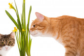 Orange and grey cats sniff daffodils — Stock Photo
