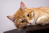 懒懒的橙色猫 — 图库照片