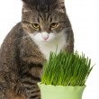 Grey cat and green grass — Stock Photo #66900457