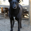 Black stray dog from the shelter — Stock Photo #70713183