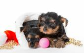 Two Little Yorkshire Terrier puppy and Santa hat — Stock Photo