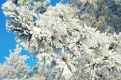 Twigs of pine snow covered — Stock Photo