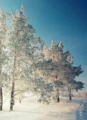 Paisaje invernal con pinos — Foto de Stock