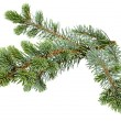 fir tree — Stockfoto #55481573