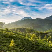 Tea plantations — Stock Photo