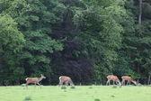 Deer in the field Blair Castle — Stock Photo