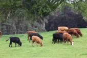 Vaches highlands écossais — Photo