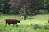 Scottish highland cows — 图库照片