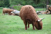 Schottischer highland kühe — Stockfoto