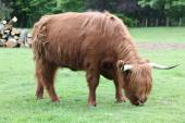 Scottish highland cow — 图库照片