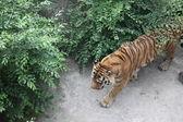 Koninklijke Bengaalse tijger in Peking — Stockfoto