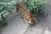 Royal Bengal tiger in Beijing — Stock Photo