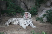 White Bengal Tiger in Beijing — Stock Photo