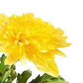 Yellow Chrysanthemum — Stock Photo