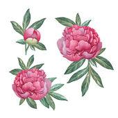 Watercolor peony flowers — Stock Photo
